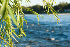 Free Weeping Willow Stock Photography - 16196962