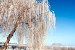 Weeping willow. High lush willow covered with a hoarfrost Royalty Free Stock Photos
