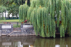 Weeping Willow. Tree at the waters edge Royalty Free Stock Image