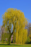 Weeping willow. In a city park in Germany royalty free stock images