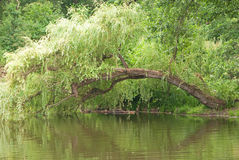 Weeping willow. Over the pond shallow water stock photos