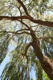 Weeping Willow. Looking up a large Weeping Willow royalty free stock photo