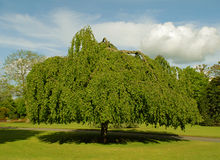 Weeping Willow. Large old weeping willow tree royalty free stock images