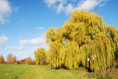 Weeping Willow. Autumn landscape in Bavaria with a weeping willow royalty free stock photo