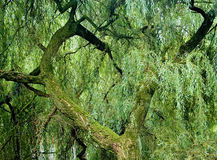 Weeping Willow. Detail of an ancient weeping willow tree in the forest royalty free stock photos