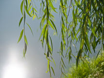 Weeping willow. Over the water royalty free stock image