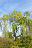 Weeping willow. Under a bright blue sky Royalty Free Stock Photography