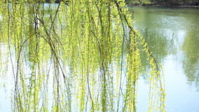 Weeping willow above the river stock footage