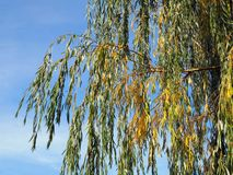 Weeping willow autumn. Detail of a weeping willow in front of a blue sky stock photos