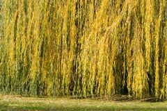 Weeping willow in autumn park. On sunny day royalty free stock images