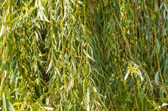 Weeping willow background in autumn Royalty Free Stock Photography