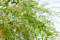 Weeping willow background. Weeping willow foliage Royalty Free Stock Photo