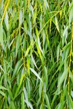 Weeping willow background, weeping willow foliage. Green foliage. Background stock photos