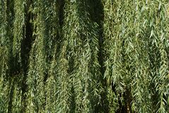 Weeping willow background - leaf, leaves royalty free stock photos