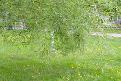Weeping willow background Stock Image