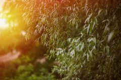 Weeping willow background and sunset on the horizont. Weeping willow background, sunset on the horizont Stock Photography