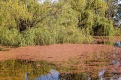 Weeping Willow Tree And Weeds On A River. A weeping willow on the banks of a river covered in red surface weed stock photography