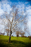 Weeping willow bare Stock Image