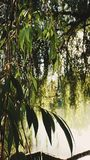 Weeping willow bathed in sunlight stock photos