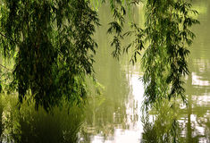 Weeping Willow. Beautiful branches of a Weeping Willow tree reflecting into the calm waters of a pond royalty free stock photos