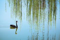 Weeping willow and black swan. On the lake in spring stock photos