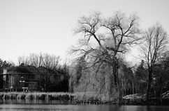 Old large weeping Willow in black and white at a pond. Old large weeping willow at a pond shown in black and white stock image