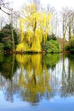 Weeping willow. Blooming in spring in Germany royalty free stock photo