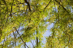 Weeping willow blooms from the bottom up Stock Image