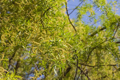 Weeping willow blossom against a blue sky Stock Images