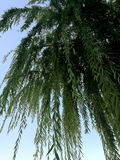 Weeping willow and blue sky, nature in the city. At morning Stock Photos