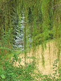 Weeping Willow & Blue Spruce Royalty Free Stock Photos