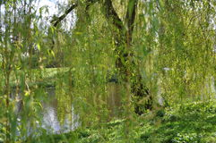 Weeping willow. Blurred weeping willow with water in the background stock photos