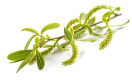 Weeping willow. Branch with aments isolated on white background royalty free stock photos