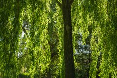 Weeping Willow Branches in Autumn stock image