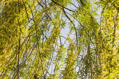 Weeping willow branches close Royalty Free Stock Photo
