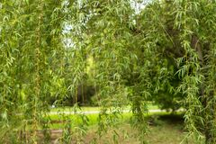 Green leaves on the branches of a weeping willow. Weeping willow branches. Green foliage on a tree. Spring colors of nature. Natural color. Leaves close up stock images