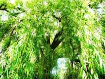 Weeping willow. Branches and leaves of a weeping willow in Ulm, Germany royalty free stock photography