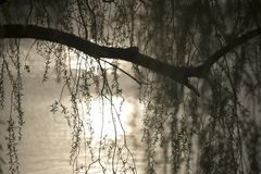 Weeping willow branches swaying in the breeze. Beautiful weeping willow branches hanging in the wind. Blurred background, space for copy stock images