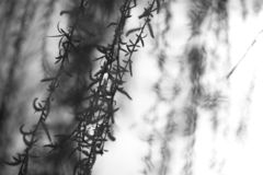 Weeping willow branches swaying in the breeze. Beautiful weeping willow branches hanging in the wind. Blurred background, space for copy royalty free stock photo