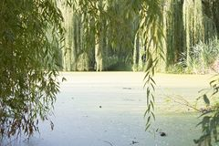 Weeping willow. Branches of weeping willow near lake in beautiful park stock photography
