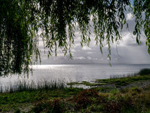 Weeping willow, chile Stock Photo