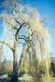Weeping willow. A weeping willow in a city park in the spring Royalty Free Stock Image