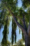 Weeping Willow. A close up of a weeping willow tree backlite by the sun Royalty Free Stock Photos