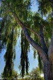 Weeping Willow. A close up of a weeping willow tree backlite by the sun Royalty Free Stock Images