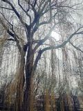 Weeping willow. On cloudy day royalty free stock photos
