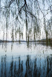 Weeping willow on the coast of West Lake in Hangzhou Royalty Free Stock Photo