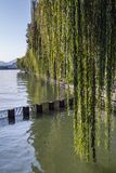 Weeping willow on the coast of West Lake. Popular public park of Hangzhou city, China Stock Photography