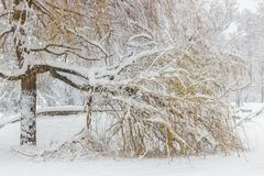 Weeping willow covered with snow. Beautiful winter scene stock image