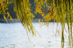 Weeping Willow Curtain Royalty Free Stock Photo
