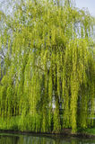 Weeping willow in early spring. Weeping willow tree on the edge of a lake in early spring time. Can be used as nature background Royalty Free Stock Images